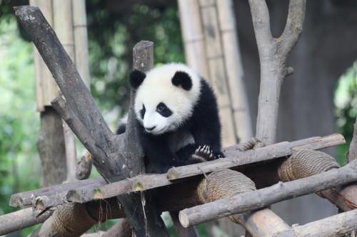 The First Digital International Panda Festival Opens on November 3, 2020 in Meishan, China