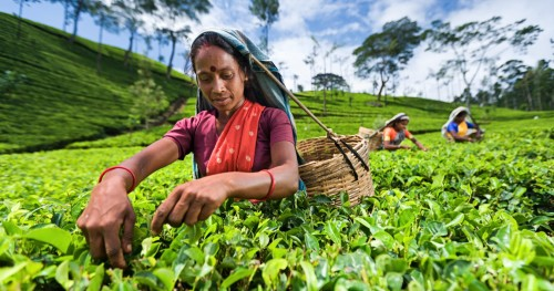 Brewing up change under COVID-19: Transforming how tea is bought and sold in Sri Lanka